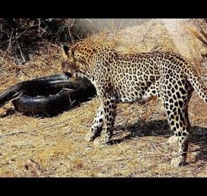 Леопард растерзал гигантского питона, защищая котенка (видео)